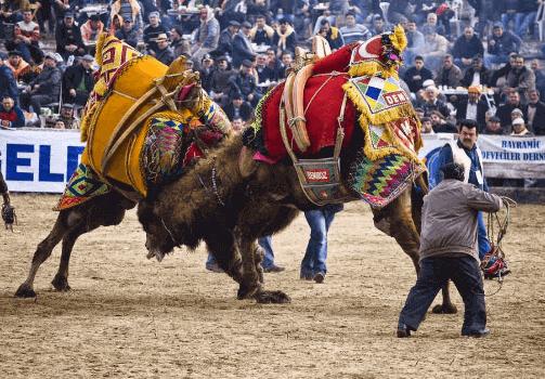 Unik Tradisi Adu Unta Dari Turki