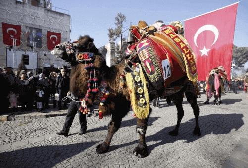 Unik : Tradisi Adu Unta Dari Turki